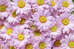 Fine rosa del crisantemo su fondo Immagini Stock