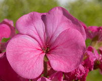 Fine rosa del fiore del geranio su Immagini Stock