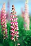 Fine rosa del fiore del lupino su nel prato Fotografie Stock
