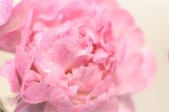 Fine rosa del fiore della peonia su Fotografie Stock