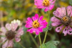Fine rosa del fiore di zinnia su Fotografie Stock Libere da Diritti