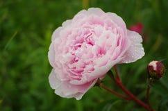 Fine rosa del fiore su nel giardino Fotografia Stock Libera da Diritti