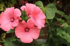 Fine rosa del Lavatera su Fotografie Stock Libere da Diritti