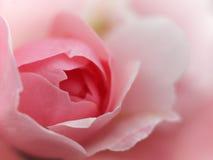 Fine rosa della rosa di morbidezza su Fotografie Stock