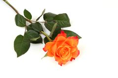 Fine rose Stock Photos