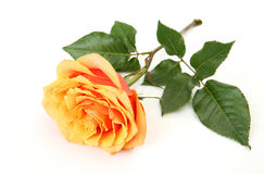 Fine rose Royalty Free Stock Photos