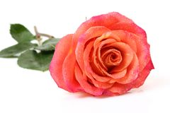 Fine rose Royalty Free Stock Photo