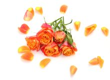 Fine roses Royalty Free Stock Images