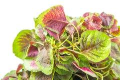 Fine rossa cinese degli spinaci sulla vista III Immagine Stock