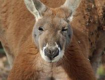 Fine rossa del canguro fotografia stock