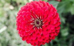 Fine rossa del fiore su Immagine Stock Libera da Diritti
