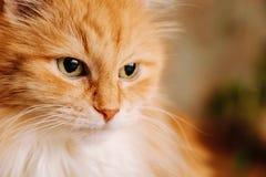 Fine rossa del gatto su Fotografia Stock