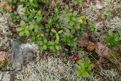 Fine rossa della bacca su in foresta fotografia stock