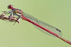 Fine rossa della libellula in su Fotografia Stock