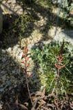 Fine rossa della pianta di vera di rauhii dell'aloe sulla macro vista Immagine Stock