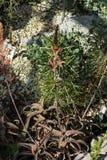 Fine rossa della pianta di vera di rauhii dell'aloe sulla macro vista Fotografia Stock Libera da Diritti