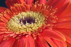 Fine rossa e gialla del fiore della gerbera su Fotografia Stock Libera da Diritti