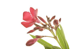 Fine rossa resistente del Oleander in su Fotografia Stock