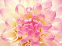 Fine rosy flower. Stock Photography