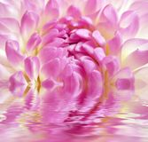 Fine rosy flower in water Stock Photo