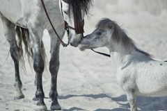 Fine scene of the two hugging horses Stock Image