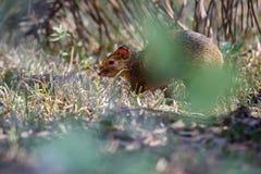 Fine selvaggia del agouti su nell'habitat della natura Immagini Stock Libere da Diritti