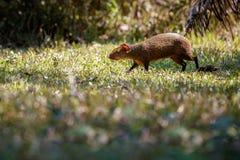 Fine selvaggia del agouti su nell'habitat della natura Fotografia Stock