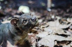 fine selvaggia dell'animale della fauna selvatica del gatto di fossa bella Immagine Stock Libera da Diritti