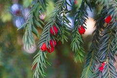 Fine sempreverde dell'albero in su Albero del tasso Reticolo naturale verde Taxus baccata immagini stock libere da diritti