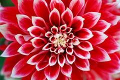 Fine senza nome del fiore in su Fotografia Stock