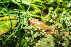Fine sopraelevata sul punto di vista del serpente acquatico marrone immagini stock
