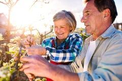 Fine in su Albero di fioritura della potatura senior delle coppie in giardino soleggiato Fotografie Stock