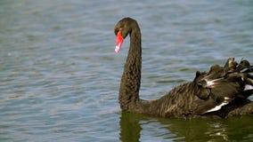 Fine in su Cigno nero che galleggia sull'acqua L'uccello galleggia sull'acqua Superficie variopinta dell'acqua La Russia, Krasnod stock footage