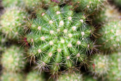 Fine su del cactus rotondo coperto di spine dorsali marcate Fotografia Stock
