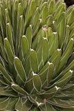 Fine in su del cactus succulente Fotografia Stock Libera da Diritti