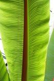 Fine in su del foglio dell'albero di banana Fotografia Stock
