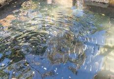 Fine su del pesce della trota in uno stagno artificiale Fotografia Stock Libera da Diritti