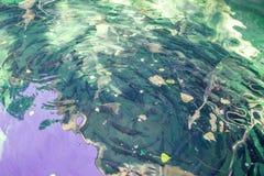 Fine su del pesce della trota in uno stagno artificiale Immagine Stock