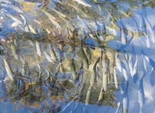 Fine su del pesce della trota in uno stagno artificiale Immagine Stock Libera da Diritti