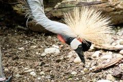 Fine su dell'uccello esotico con la testa trapuntata appuntita Fotografia Stock