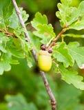 Fine su della ghianda verde singola sul robu tagliente del quercus del dettaglio dell'albero Fotografia Stock Libera da Diritti