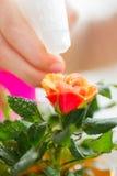 Fine su della mano della donna che spruzza fiore rosa Immagine Stock