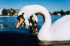 Fine su della testa bianca sveglia del cigno di tolleranza sul lago Alster un giorno soleggiato a Amburgo Immagine Stock Libera da Diritti