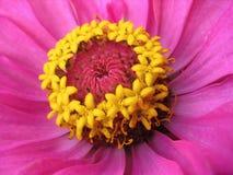 Chiuda su della zinnia rosa con gli stamens gialli fotografie stock