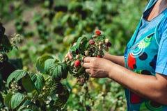 Fine su delle bacche organiche fresche con le foglie verdi sulla canna del lampone Giardino di estate in villaggio fotografia stock libera da diritti