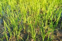 Fine - su delle piantine del riso e del greenfield fotografia stock libera da diritti