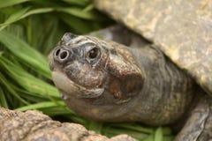 Fine in su di un fronte delle tartarughe Fotografia Stock Libera da Diritti