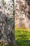 Fine su di una caduta in anticipo del tronco di albero della betulla fotografie stock libere da diritti