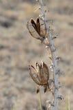 Chiuda su di una pianta di fioritura dell'yucca con i semi Immagine Stock