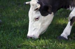 fine su di una testa della mucca s che mangia l'erba Fotografia Stock Libera da Diritti